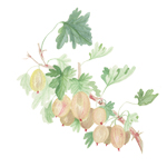 gooseberriesicon