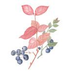 blueberryicon